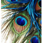 All with peacock feathers